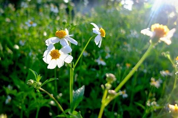 hoa xuyen chi ảnh 1