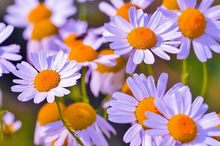 hoa xuyen chi ảnh 9