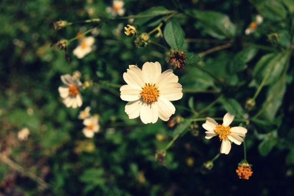 hoa xuyen chi ảnh 8