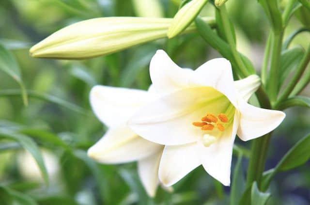 Hoa huệ là loài hoa giữ vị trí quan trọng trong tiềm thức, tâm linh và tinh thần của con người