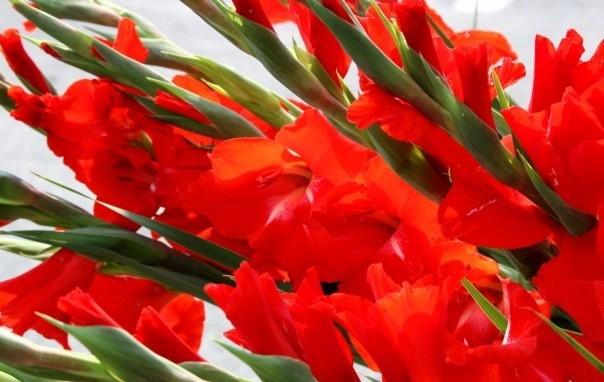 Hoa huệ đỏ là biểu tượng của mùa xuân rực rỡ, đơm chồi nảy lộc