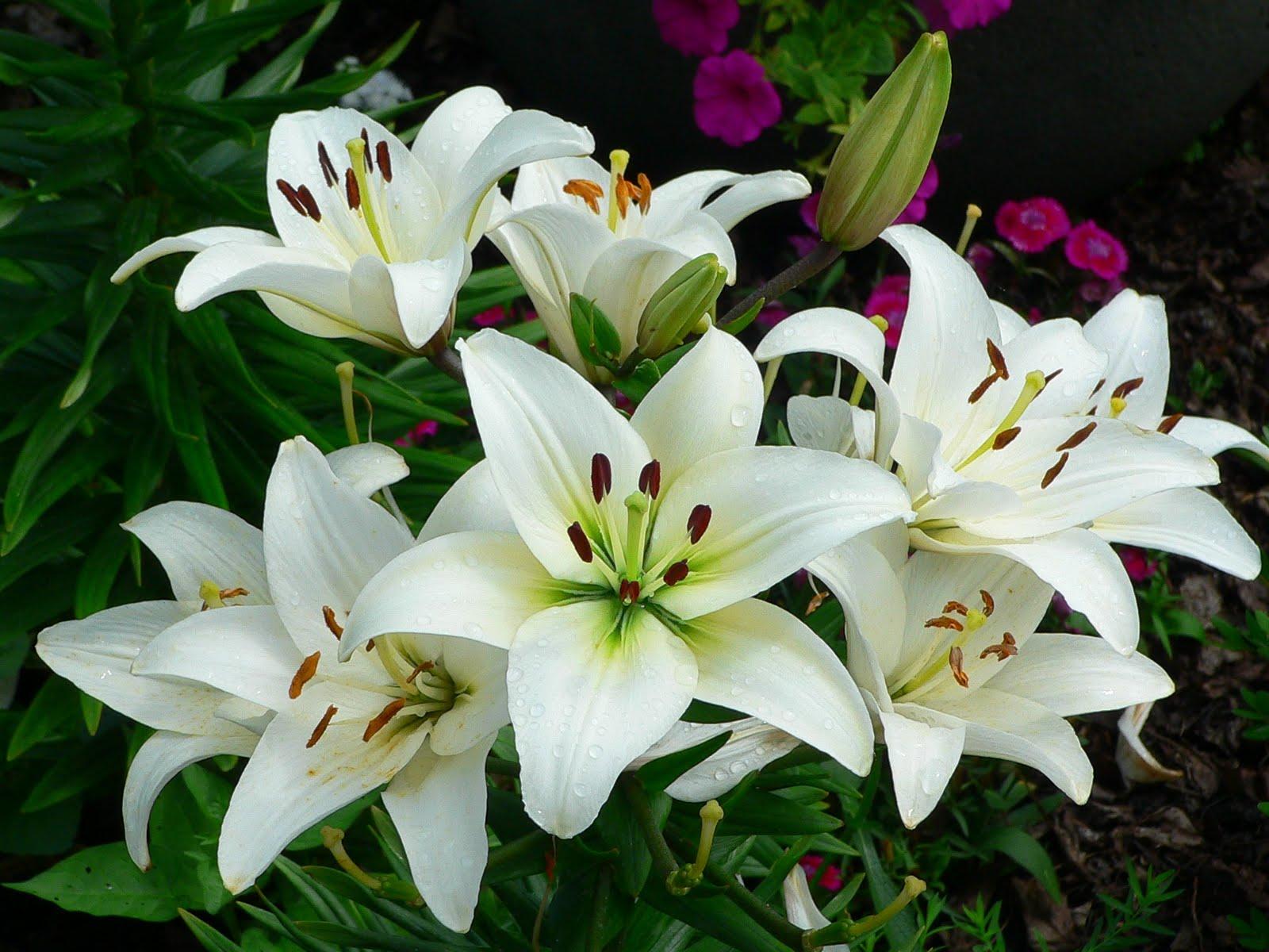 Hoa huệ là loại hoa được các chị em lựa chọn để bày Tết