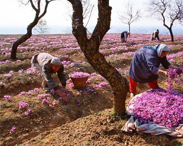 Công đoạn thu hái được thực hiện khá tỉ mỉ để tạo thành gia vị (Saffron) quý hiếm và đắt đỏ
