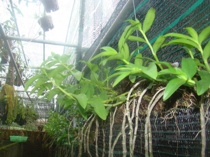 Hướng dẫn cách trồng lan Phi Điệp vào chậu đúng kỹ thuật và cho hoa đẹp - Ảnh 5