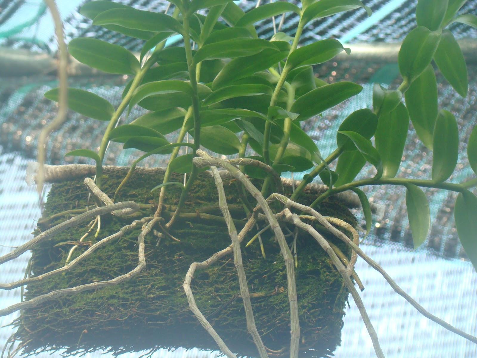 Hướng dẫn cách trồng lan Phi Điệp vào chậu đúng kỹ thuật và cho hoa đẹp - Ảnh 8