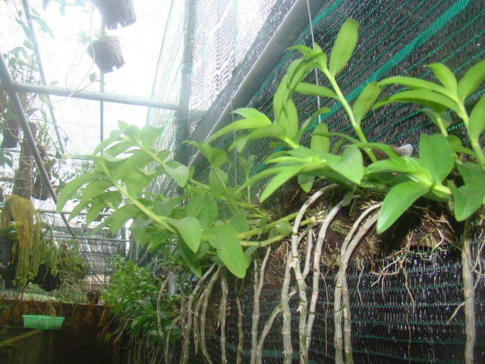 Hướng dẫn cách trồng lan Phi Điệp vào chậu đúng kỹ thuật và cho hoa đẹp - Ảnh 2