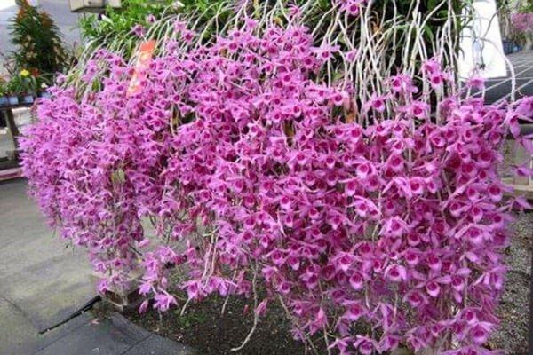Hướng dẫn cách trồng lan Phi Điệp vào chậu đúng kỹ thuật và cho hoa đẹp - Ảnh 9