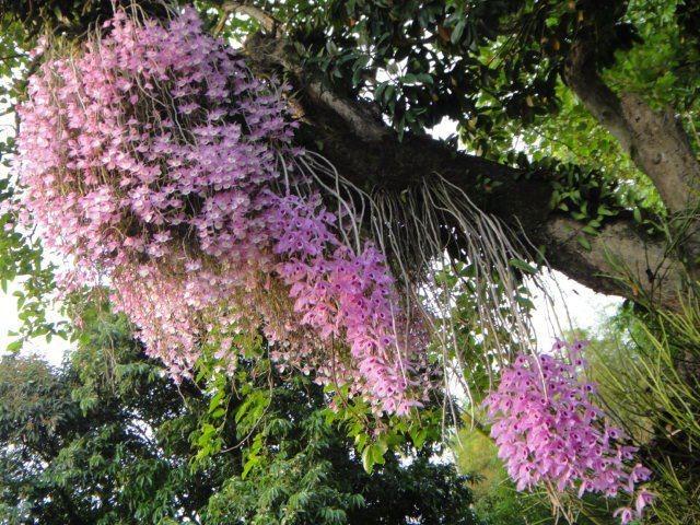 Hướng dẫn cách trồng lan Phi Điệp vào chậu đúng kỹ thuật và cho hoa đẹp - Ảnh 3