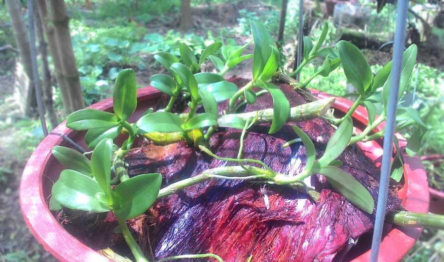 Hướng dẫn cách trồng lan Phi Điệp vào chậu đúng kỹ thuật và cho hoa đẹp - Ảnh 4