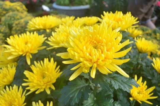 Hoa cúc vàng có ý nghĩa biểu tượng cho tấm lòng biết ơn thành kính của bậc con cháu với ông bà, tổ tiên