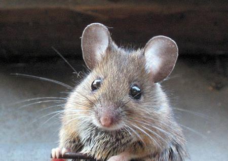 Chuột con vật đứng đầu trong danh sách 12 con giáp được tượng trưng cho sự sung túc và thịnh vượng