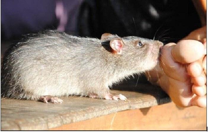 Nằm mơ thấy chuột cắn chân