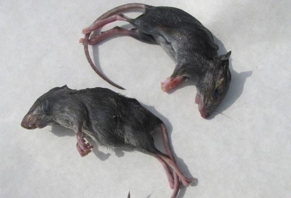 Nằm mơ thấy chuột chết