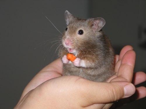 Mơ thấy chuột màu đen là dấu hiệu cảnh báo trước có mối hiểm họa