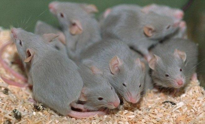 Mơ thấy một đàn chuột nhắt đang ăn