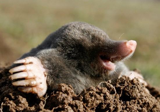 Mơ thấy một con chuột chũi