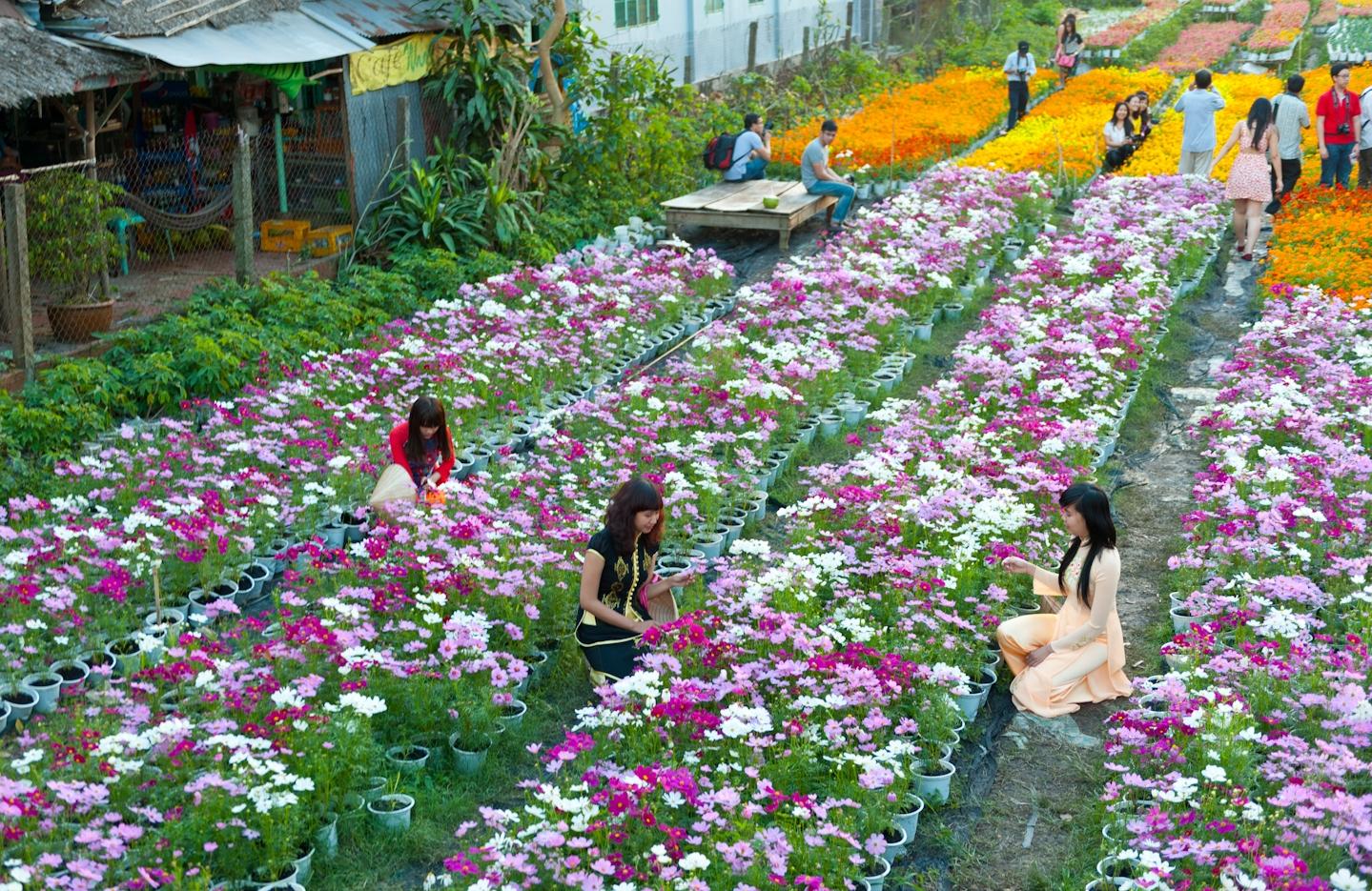 Đến các làng hoa để ngắm hoa Tết sớm