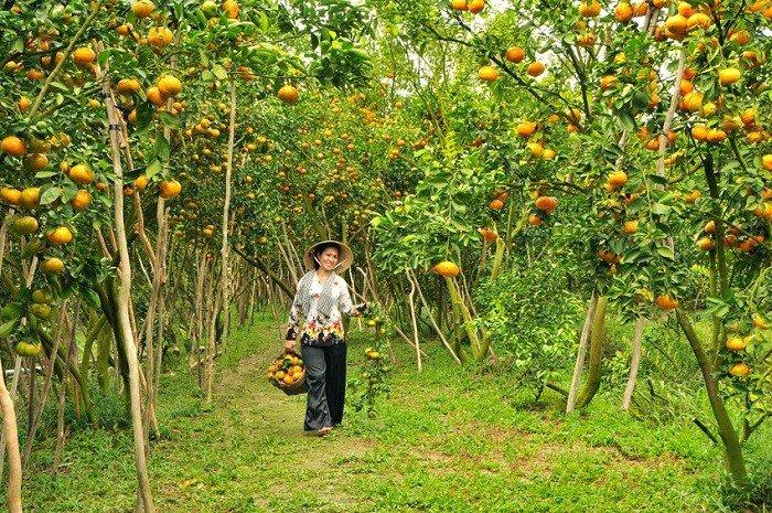 Tham quan vườn quýt hồng Lai Vung, Đồng Tháp
