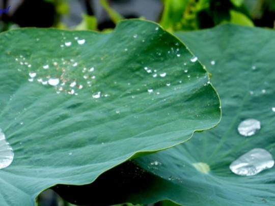 Uống nước lá sen chữa bệnh háo khát hiệu quả