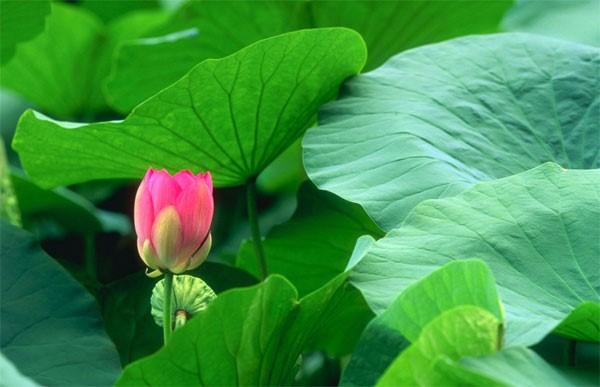 Từ thời xa xưa, lá sen đã được dùng làm vị thuốc để chữa bệnh