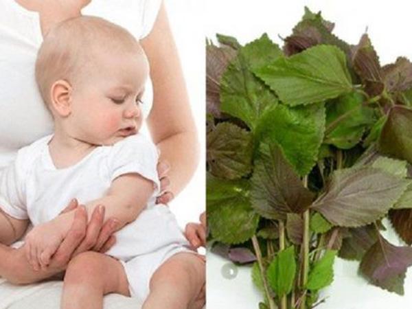 Ăn lá tía tô trước khi tiêm phòng có tác dụng gì cho bé