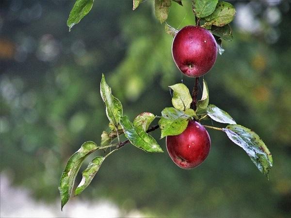 Ăn táo vào lúc nào thì tốt? Bạn đã ăn táo đúng cách chưa?