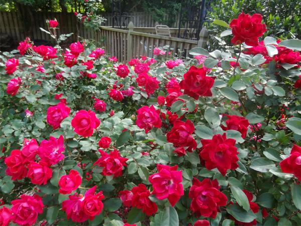 Chuyên mục Tết 2020: Cách giữ hoa hồng tươi lâu