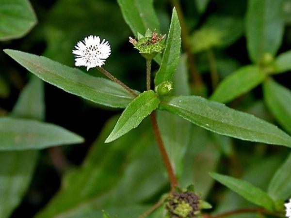 Có nên dùng cây cỏ mực chữa suy thận không?