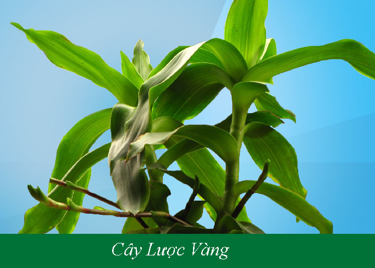Cay luoc vang ngam ruou 1