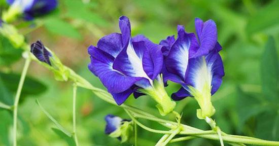 qua hoa dau biec co an duoc khong 4