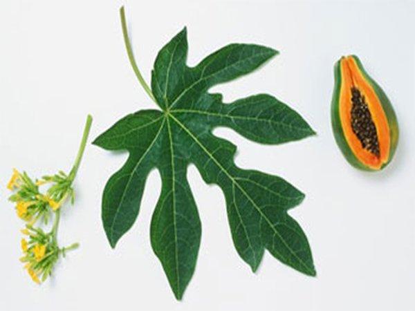Uống lá đu đủ có tác dụng gì đối với sức khỏe?