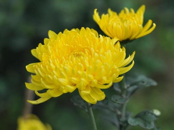 Cách cắm hoa cúc đẹp mang sung túc vào nhà ngày Tết