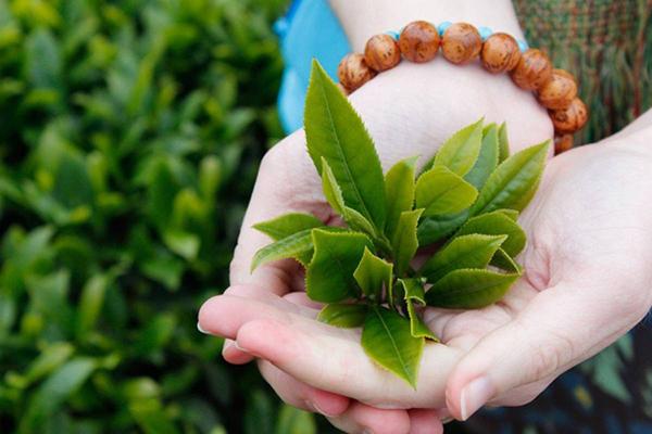 Là trầu xanh giúp giảm ngứa, kháng viêm cho vùng kín