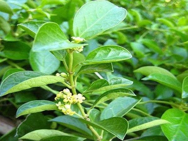 Cây thìa canh có tác dụng gì? Điểm danh những lợi ích tuyệt vời của cây thìa canh