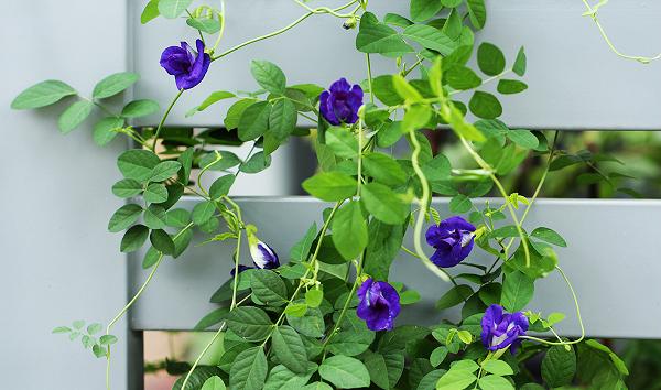 Cách trồng hoa đậu biếc xanh tươi tốt tại nhà