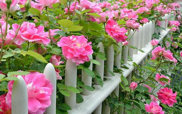 Ý nghĩa thực sự đằng sau những bông hoa hồng tỉ muội rực rỡ