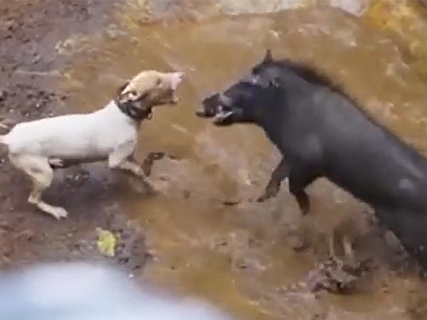 Clip: Lợn rừng bị chó Pitbull hiếu chiến rượt đuổi, màn đối đầu sinh tử của 2 đối thủ xứng tầm