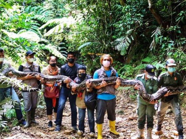 Người dân run sợ khi bắt được trăn tinh khổng lồ dài gần 7 mét, nặng 120kg sẽ tấn công con người