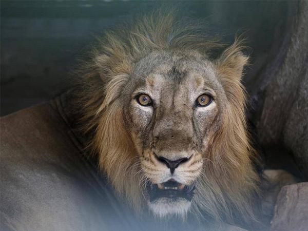 Ấn Độ: Sau con người thì nhiều sư tử cũng dương tính với Covid-19