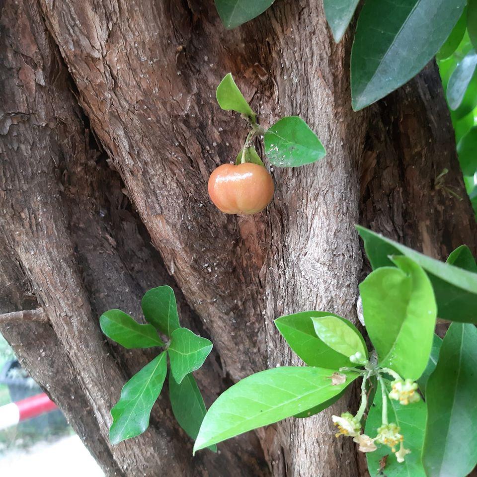 Quả roi 'tự kỷ' một mình chiếm vị trí độc tôn ngay giữa thân cây, dân mạng liền trêu: 'Chắc chỉ để ngắm chứ chẳng nỡ ăn?' - Ảnh 10