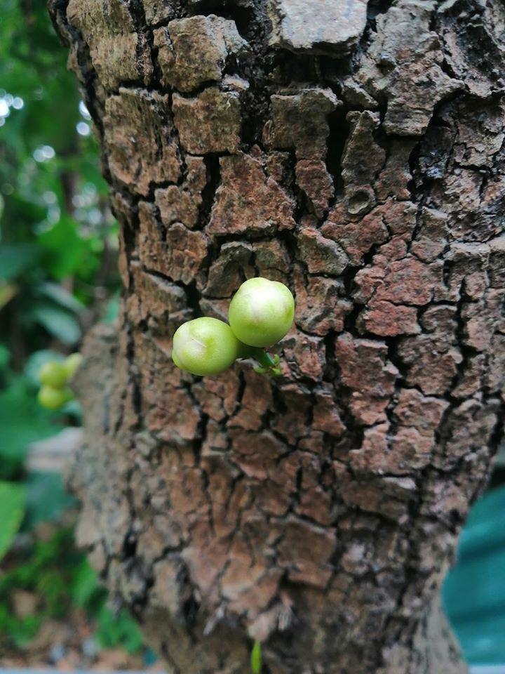 Quả roi 'tự kỷ' một mình chiếm vị trí độc tôn ngay giữa thân cây, dân mạng liền trêu: 'Chắc chỉ để ngắm chứ chẳng nỡ ăn?' - Ảnh 11