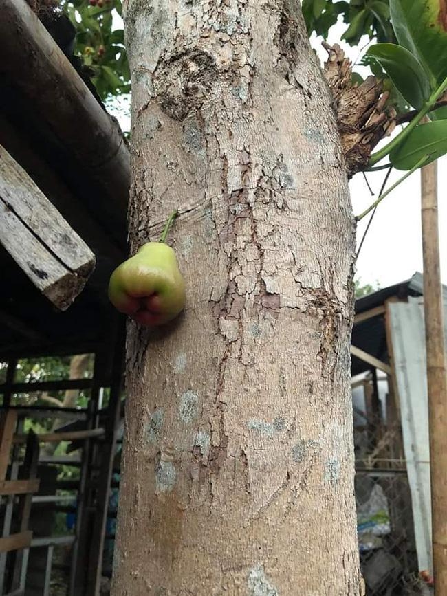 Quả roi 'tự kỷ' một mình chiếm vị trí độc tôn ngay giữa thân cây, dân mạng liền trêu: 'Chắc chỉ để ngắm chứ chẳng nỡ ăn?' - Ảnh 2