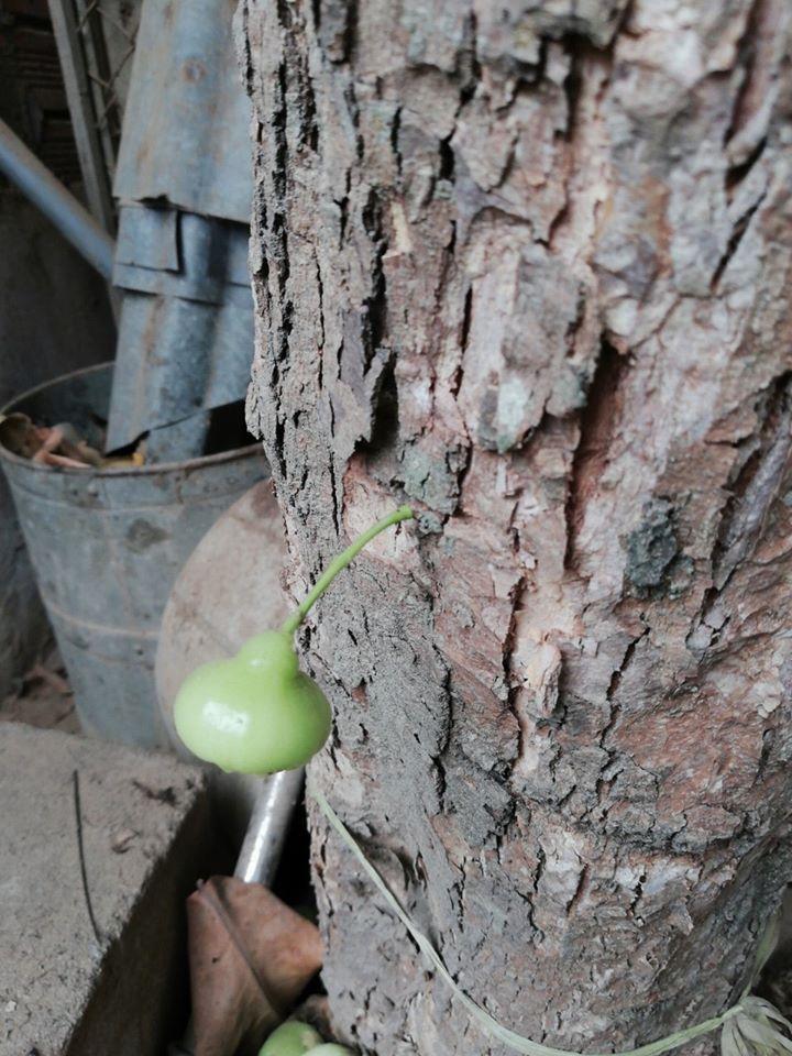 Quả roi 'tự kỷ' một mình chiếm vị trí độc tôn ngay giữa thân cây, dân mạng liền trêu: 'Chắc chỉ để ngắm chứ chẳng nỡ ăn?' - Ảnh 4