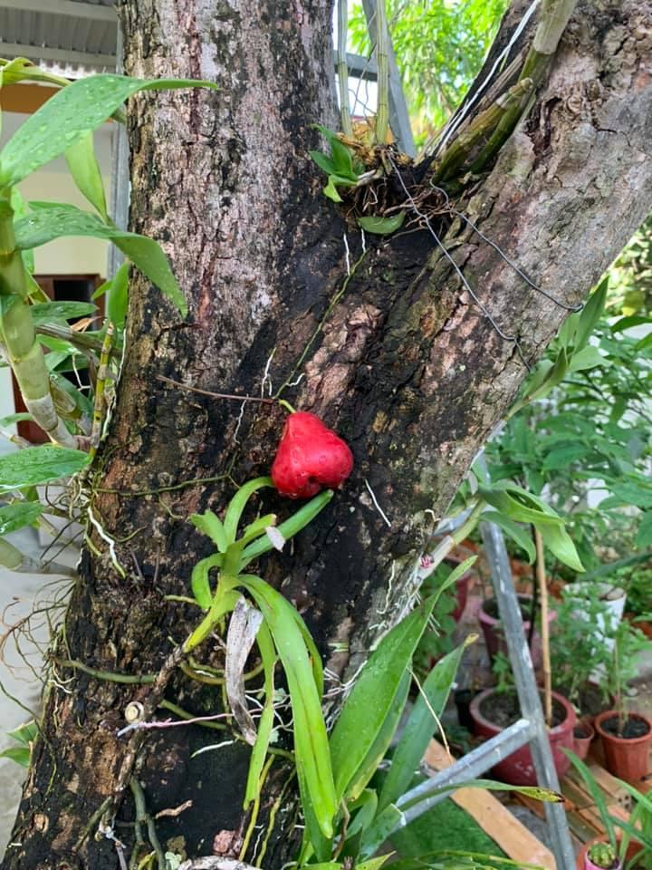 Quả roi 'tự kỷ' một mình chiếm vị trí độc tôn ngay giữa thân cây, dân mạng liền trêu: 'Chắc chỉ để ngắm chứ chẳng nỡ ăn?' - Ảnh 5