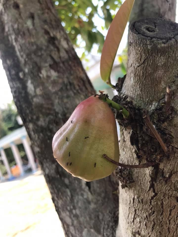 Quả roi 'tự kỷ' một mình chiếm vị trí độc tôn ngay giữa thân cây, dân mạng liền trêu: 'Chắc chỉ để ngắm chứ chẳng nỡ ăn?' - Ảnh 6