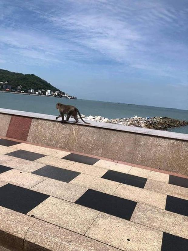 Cảnh khỉ đói 'lúc nhúc như dòi' lao vào 'tung liên hoàn cước' túi bụi gây sốc toàn châu Á, khỉ ở Vũng Tàu hiền 'thấy mồ tổ' - Ảnh 8