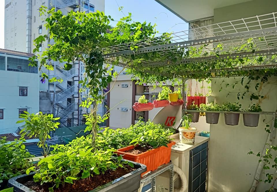 Học ngay anh 'chồng đảm' cách trồng vườn rau xanh - sạch - đẹp trong 'mảnh vườn' ban công 3m2, ăn quanh năm không hết - Ảnh 1