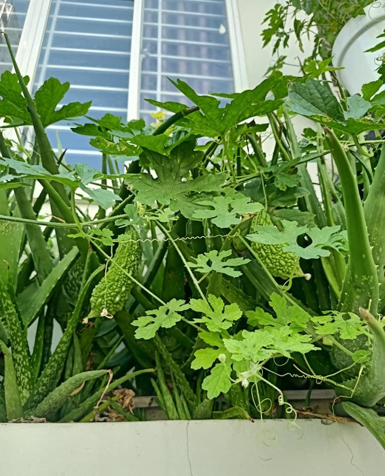 Học ngay anh 'chồng đảm' cách trồng vườn rau xanh - sạch - đẹp trong 'mảnh vườn' ban công 3m2, ăn quanh năm không hết - Ảnh 4