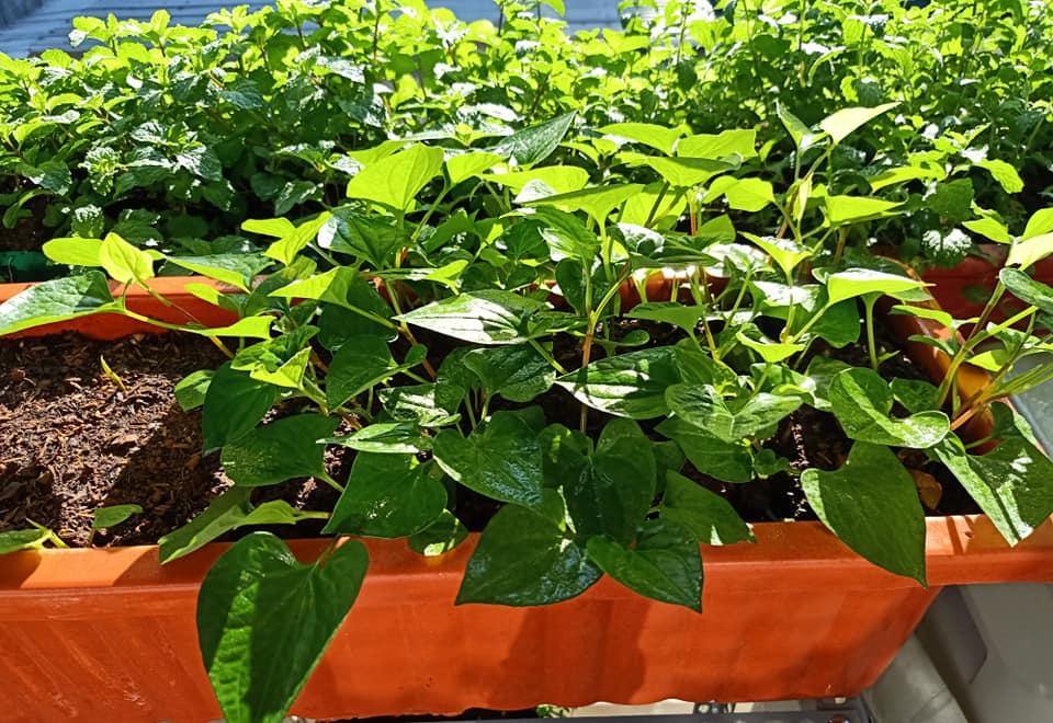 Học ngay anh 'chồng đảm' cách trồng vườn rau xanh - sạch - đẹp trong 'mảnh vườn' ban công 3m2, ăn quanh năm không hết - Ảnh 2