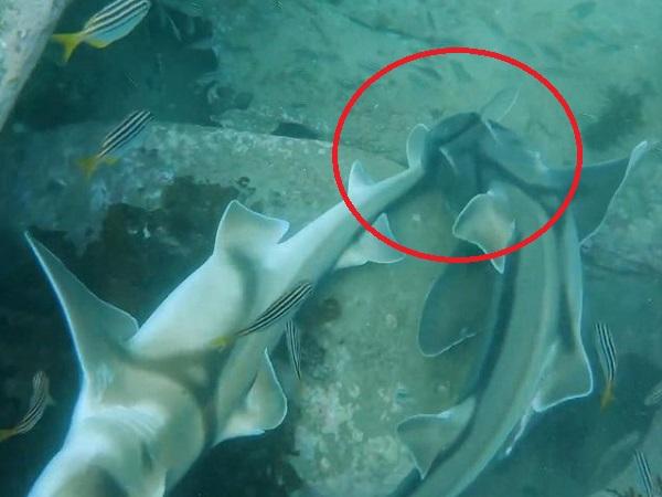 Choáng váng trước hành vi tán tỉnh vô cùng độc đáo có 1-0-2 của những con cá mập Port Jackson